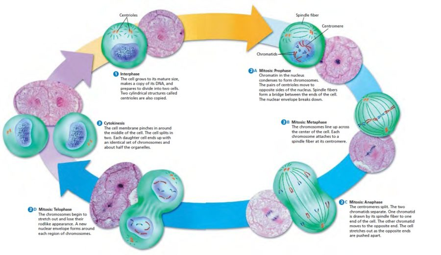 cell cycle diagram steps