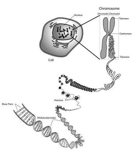 chromosome diagram wprksheet