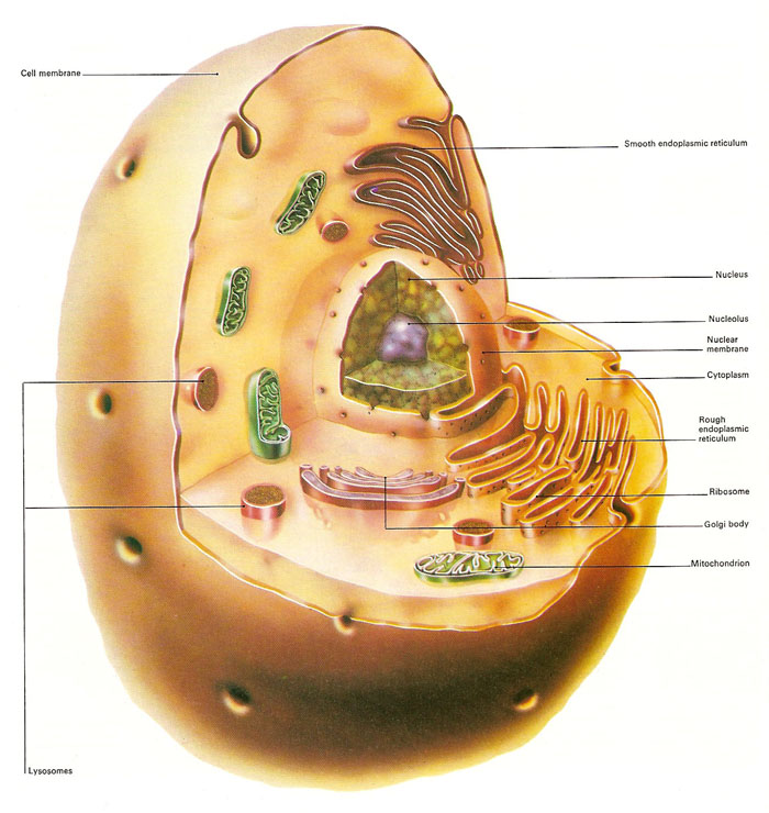 diagram of an animal cell anatomy