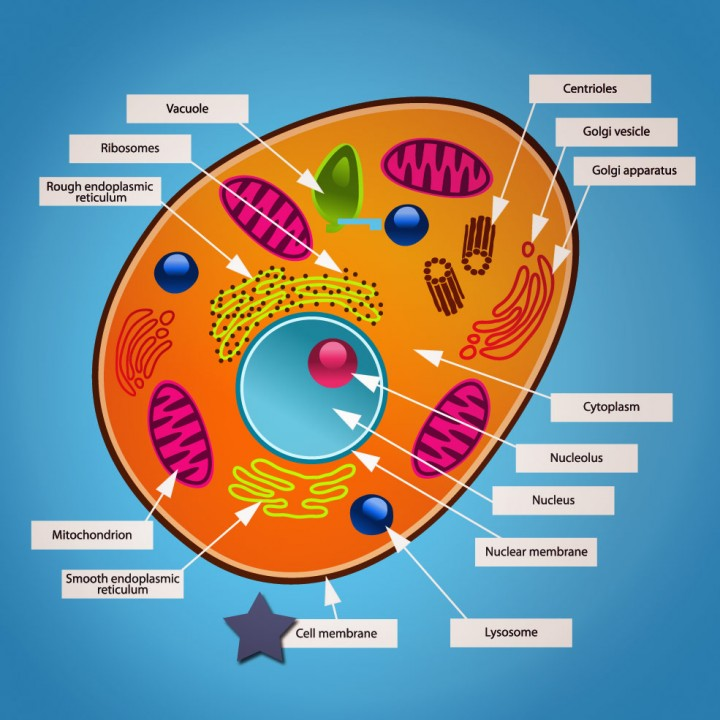 diagram of an animal cell models