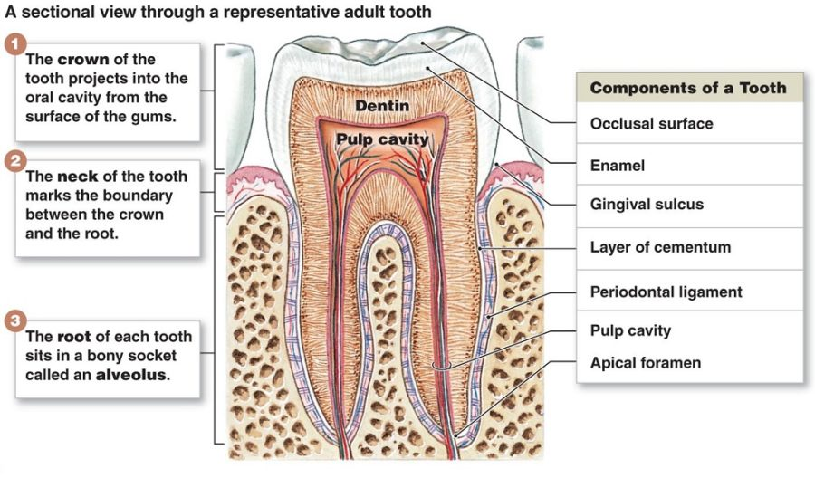 diagram of teeth anatomy