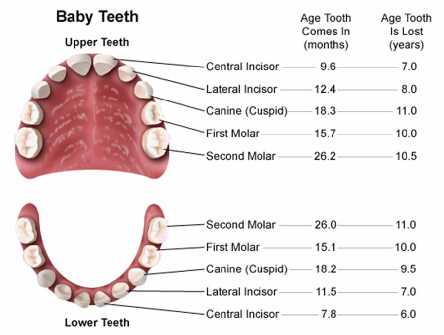 diagram of teeth baby
