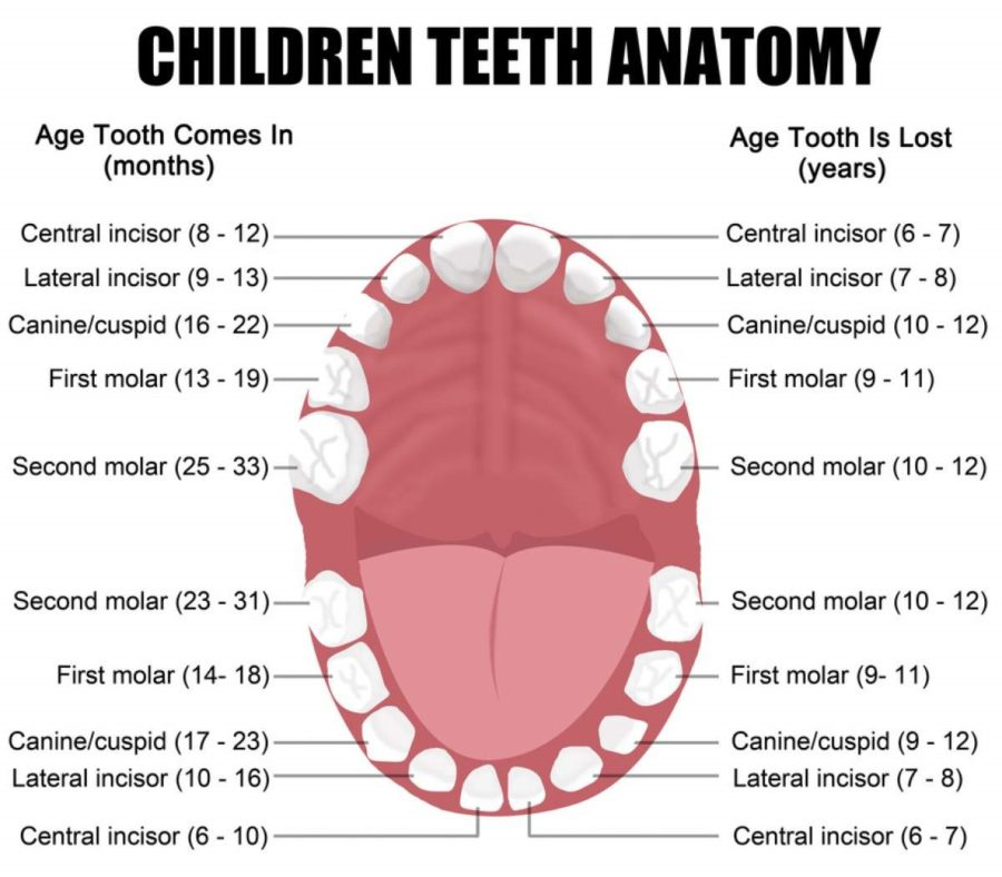 diagram of teeth children