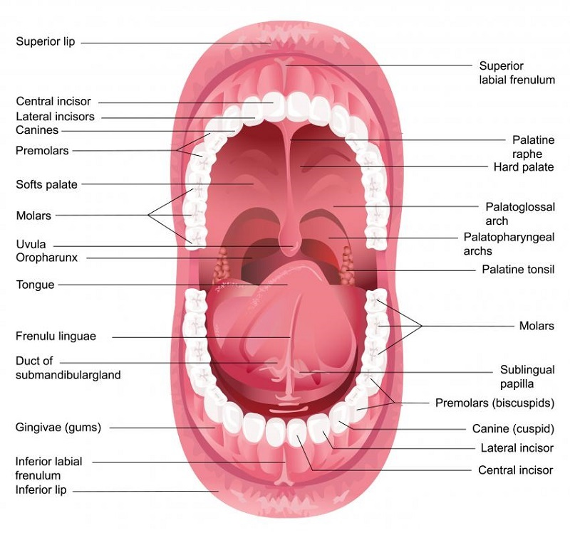 diagram of the mouth detail