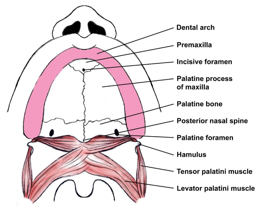 diagram of the mouth labeled
