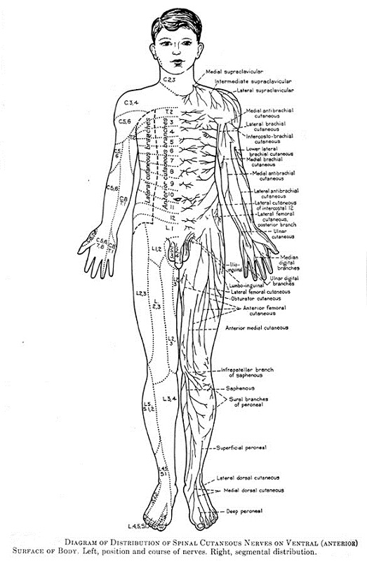 diagram of the nervous system anatomy
