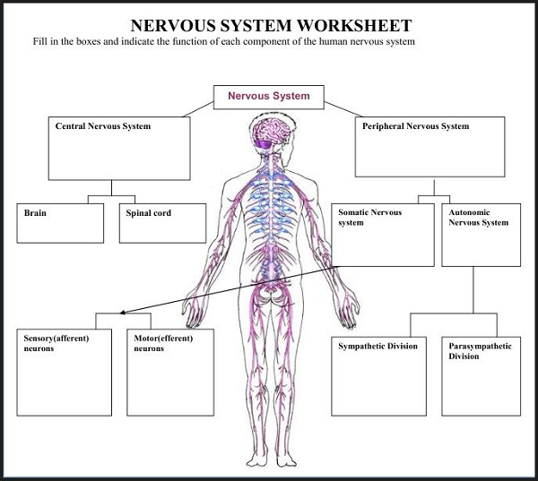 diagram of the nervous system worksheet