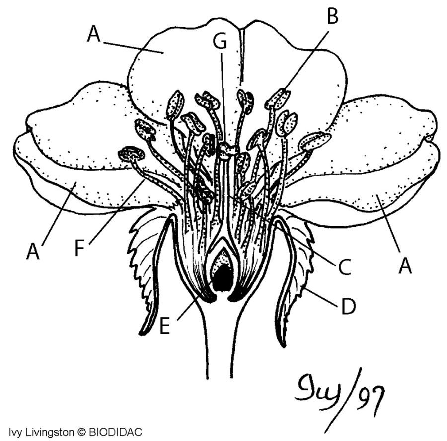flower parts diagram lateral
