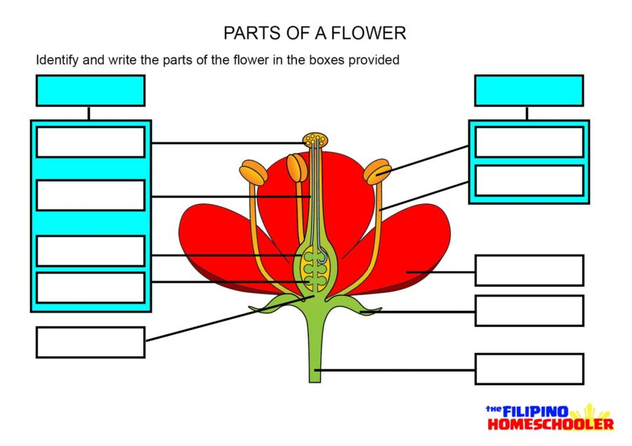 flower parts diagram unlabeled