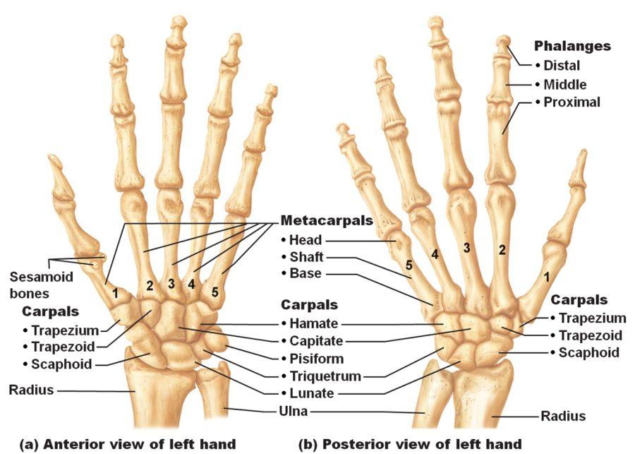 hand diagram anatomy