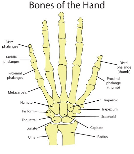 hand diagram bones