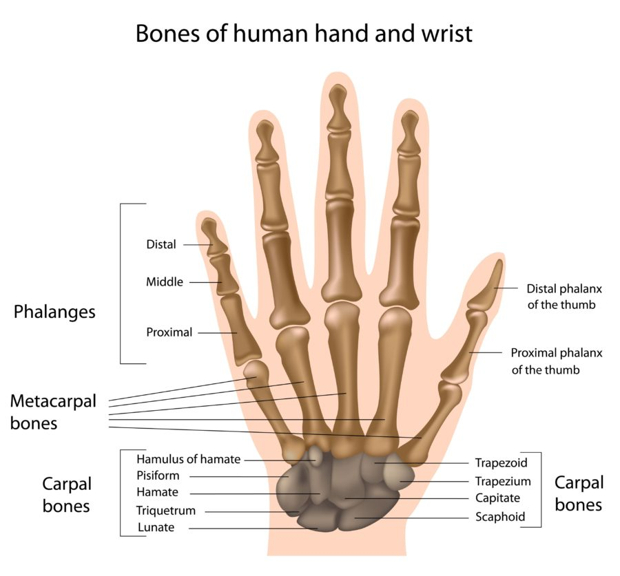 hand diagram detailed