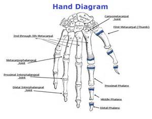 hand diagram joint