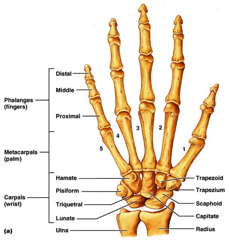 hand diagram labeled