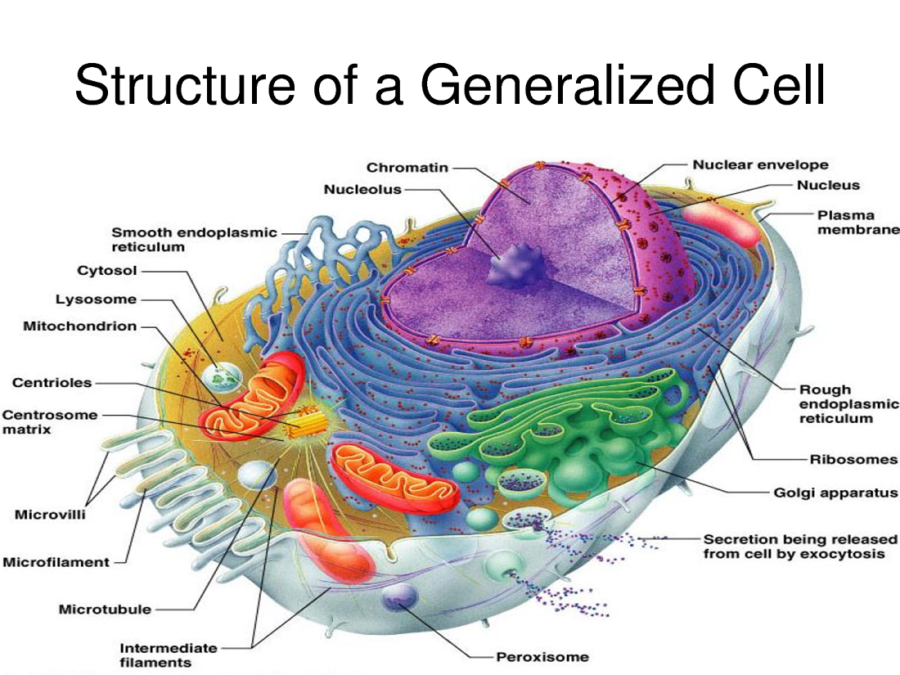 human cell diagram image