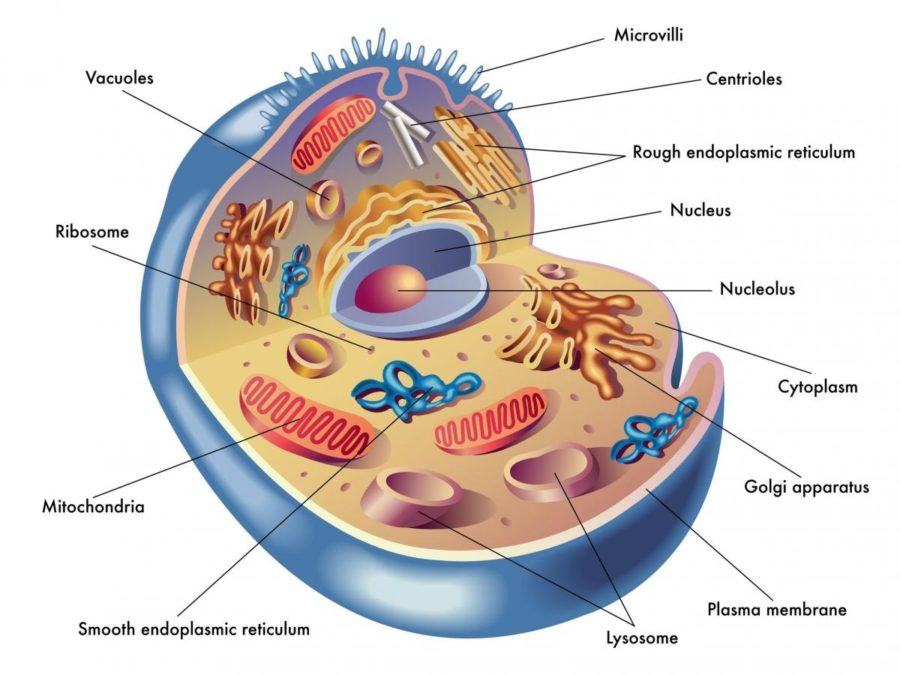 human cell diagram picture