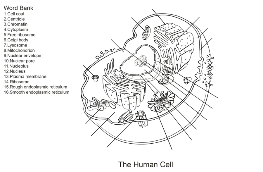 human cell diagram sheet