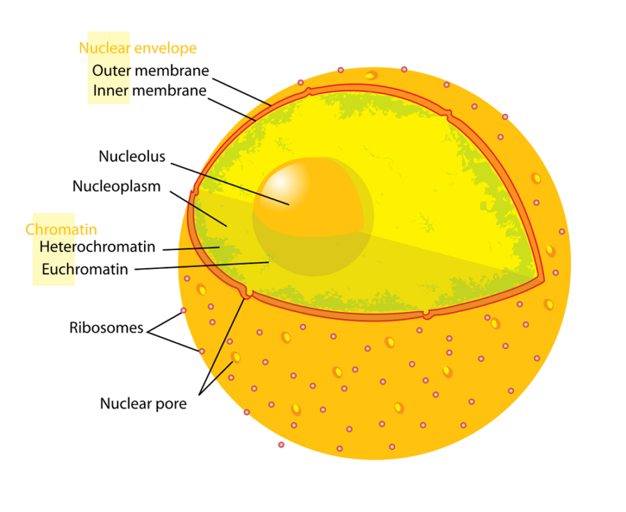 human cell diagram simple