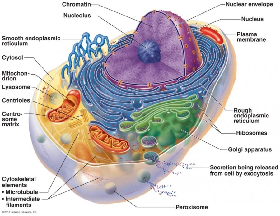 human cell diagram structure