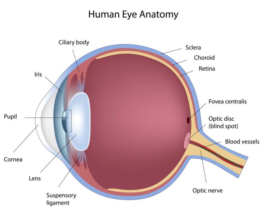 human eye diagram anatomy