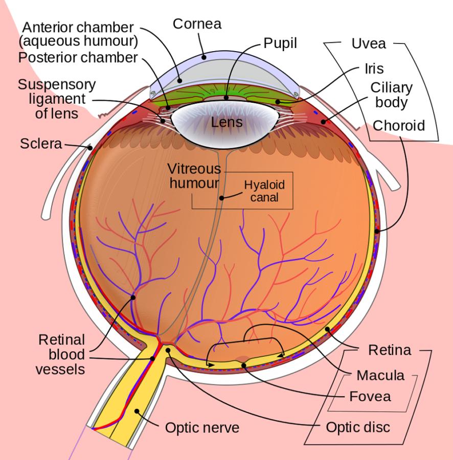 human eye diagram labeled