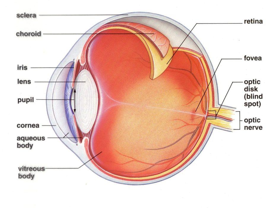 human eye diagram picture