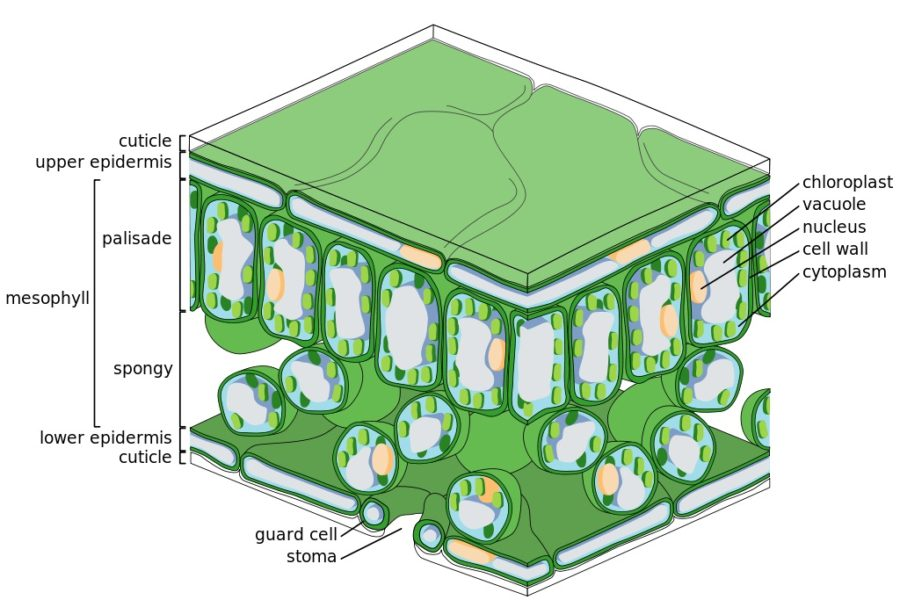 leaf diagram cell