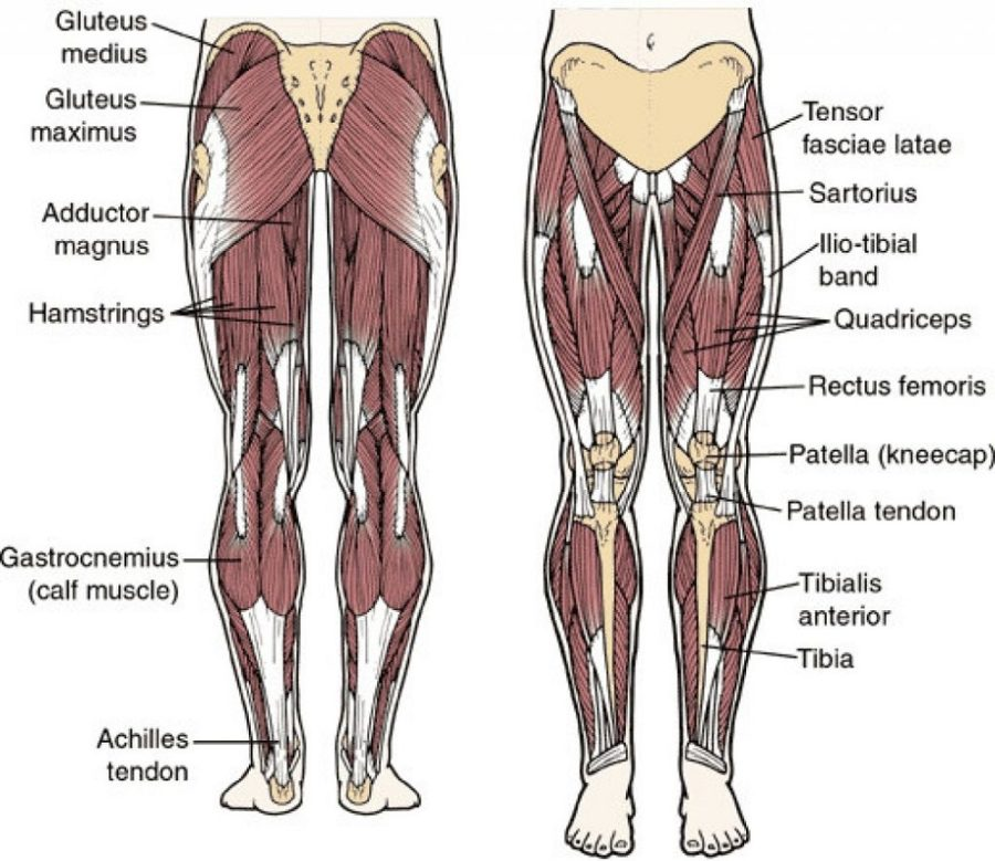 leg muscles diagram anatomy