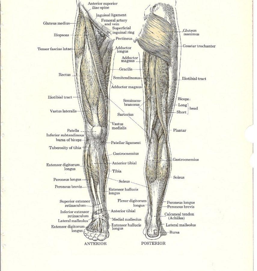 leg muscles diagram detail