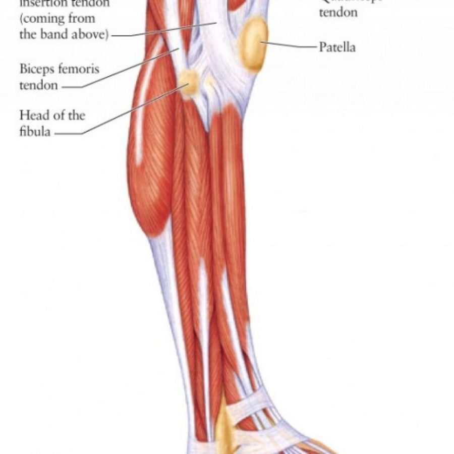 leg muscles diagram simple