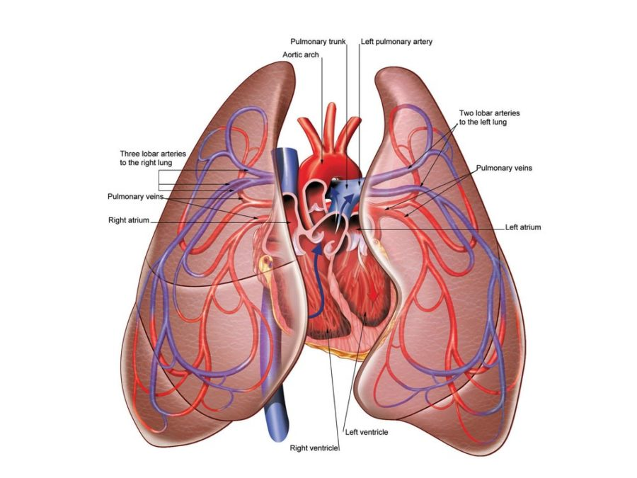 lung diagram with heart