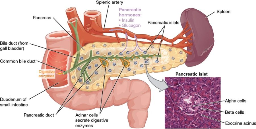 pancreas diagram anatomy