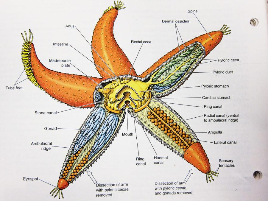 starfish diagram dissection