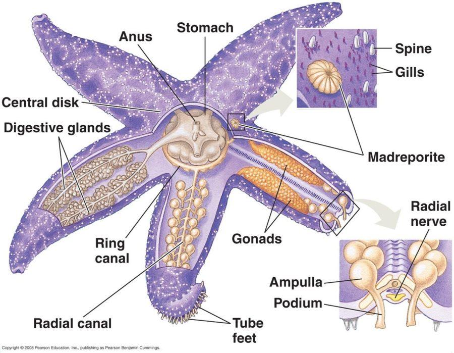 starfish diagram sea