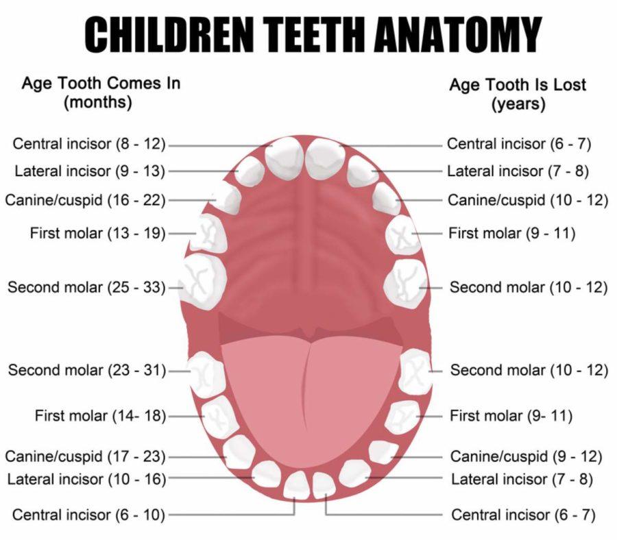 teeth diagram childreen