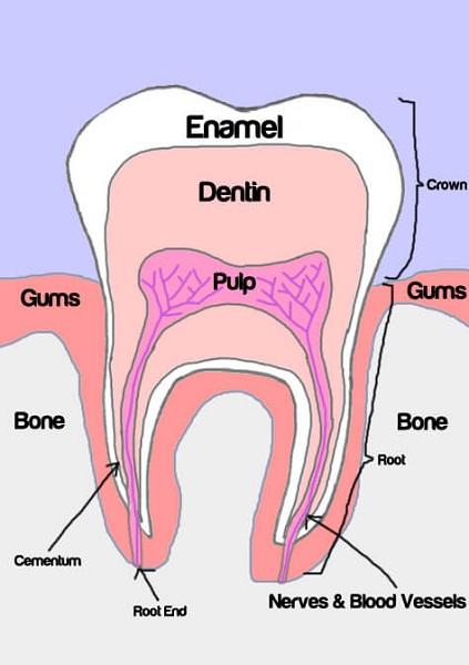 teeth diagram human