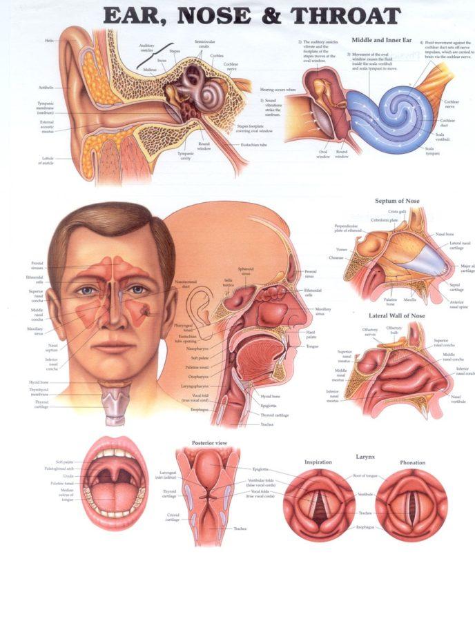 throat diagram complete