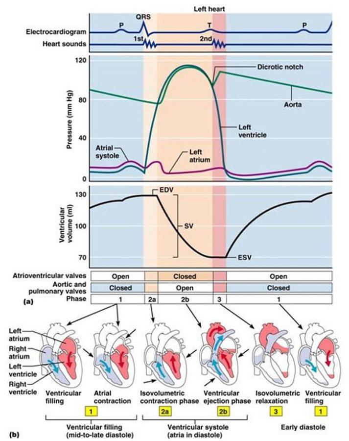 wiggers diagram detail