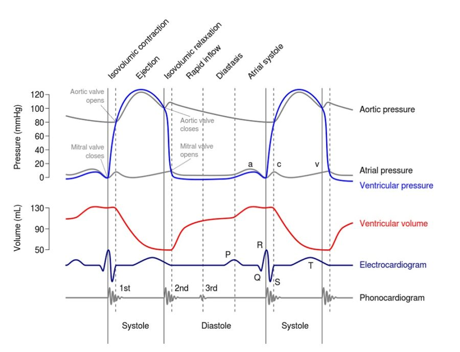 wiggers diagram explain