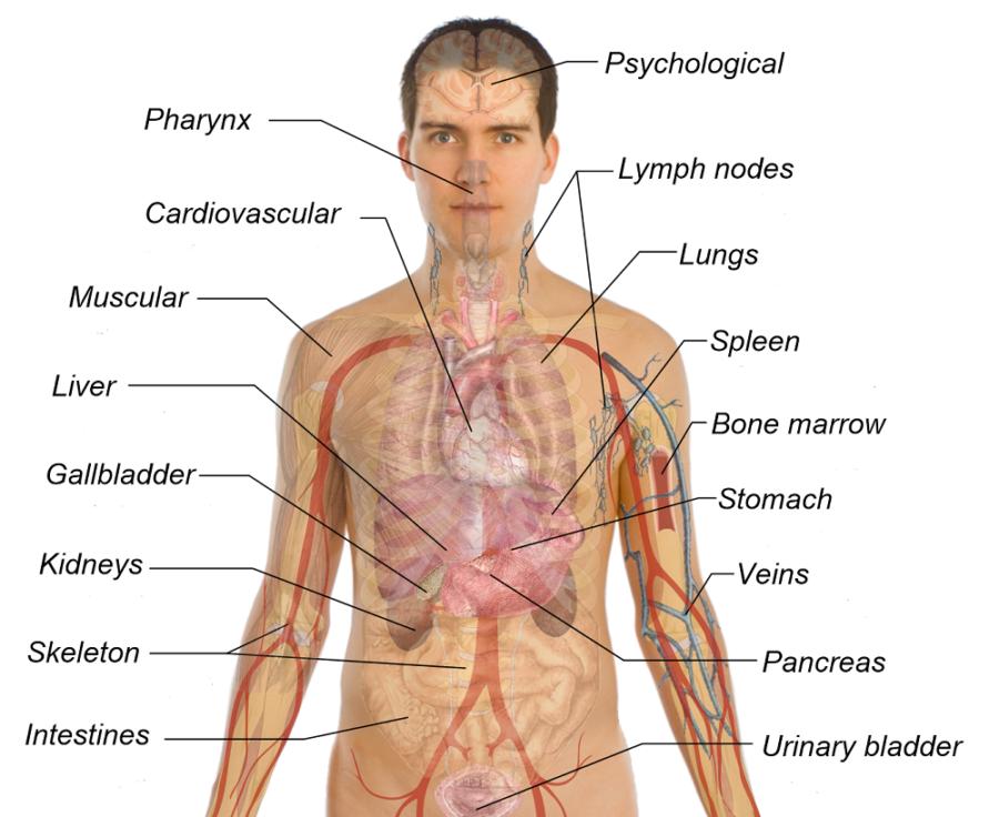 body diagram organs