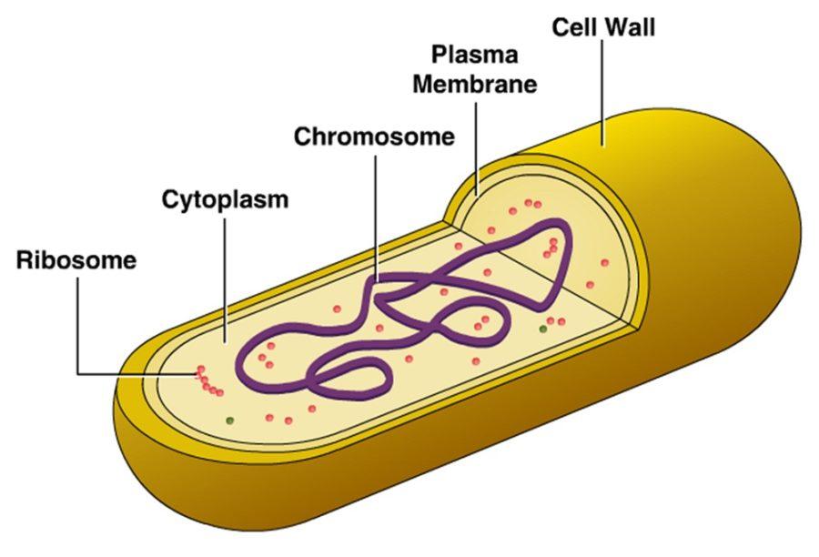 cell diagram bacteria
