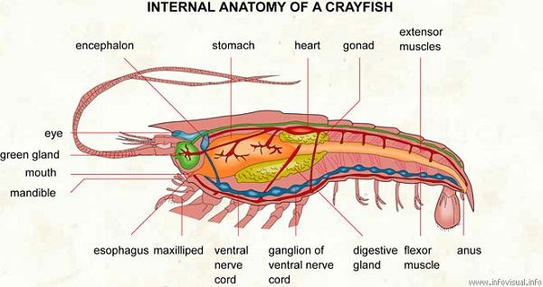 crayfish diagram anatomy