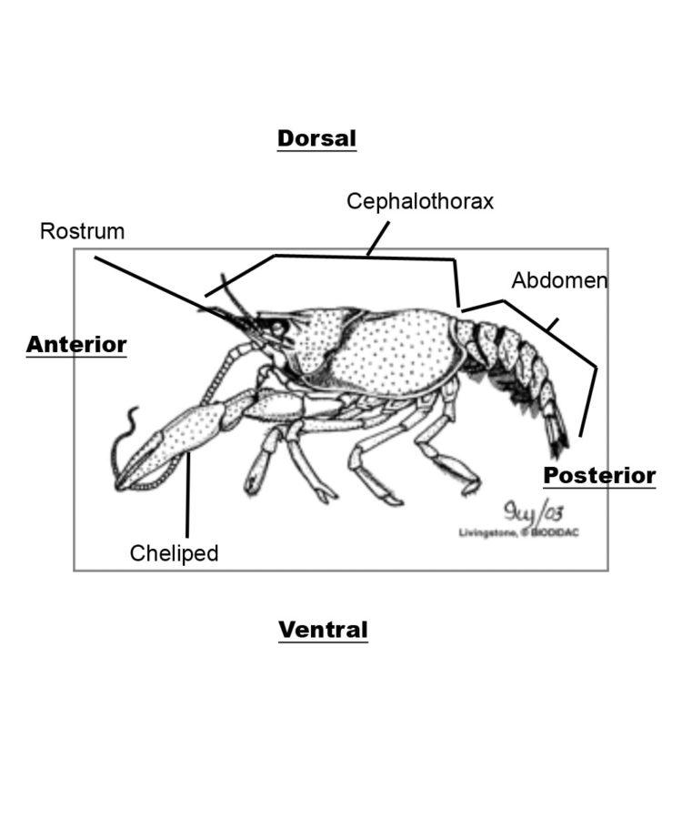 crayfish diagram dorsal