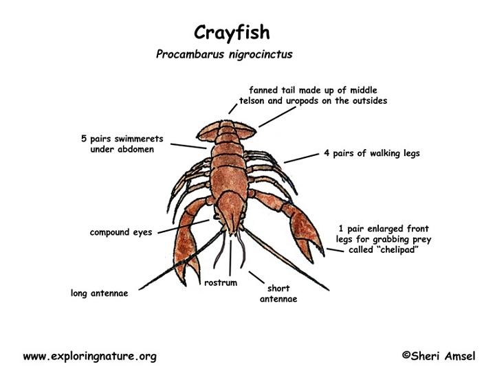 crayfish diagram example