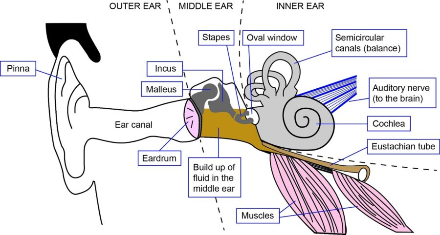 diagram of ear page