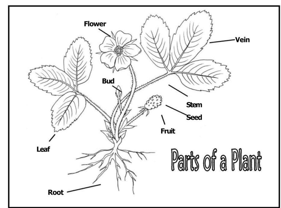diagram of flower printable