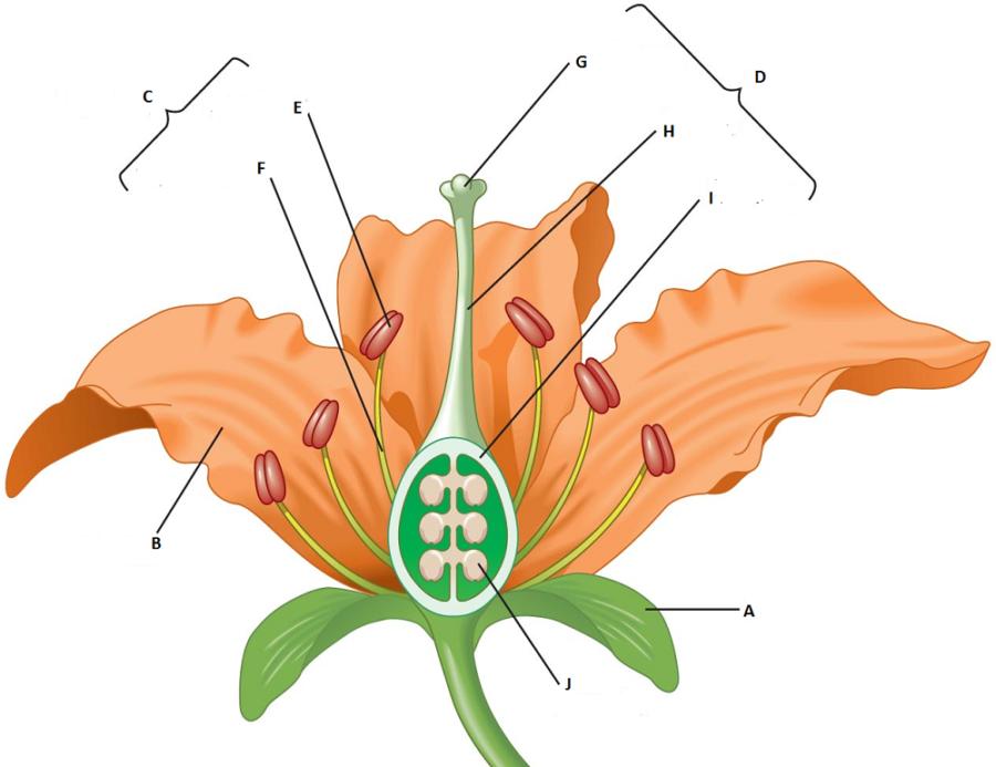 diagram of flower worksheet