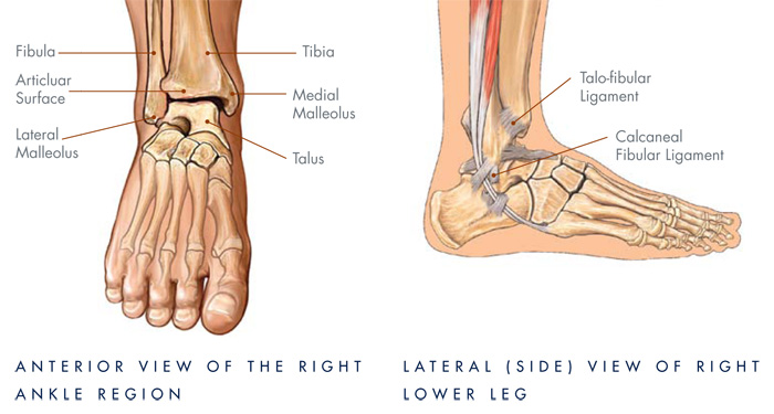 diagram of foot ankle