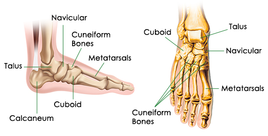 diagram of foot bones