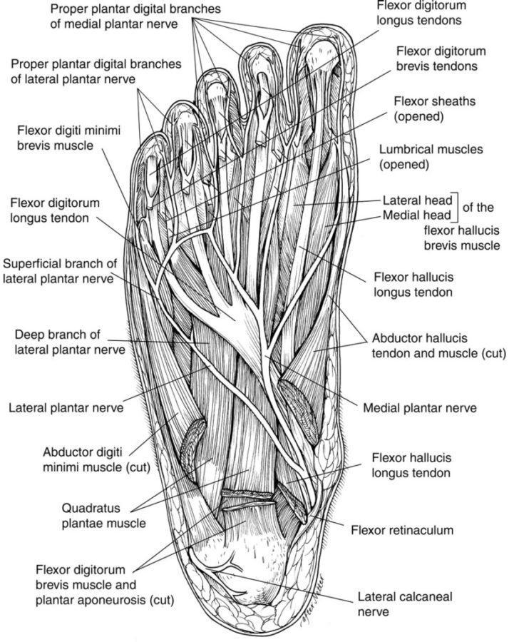 diagram of foot detailed